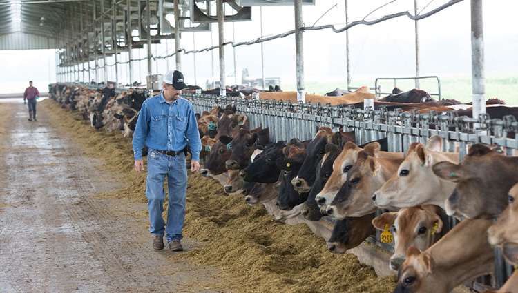 Dairy farmer looks over his cows