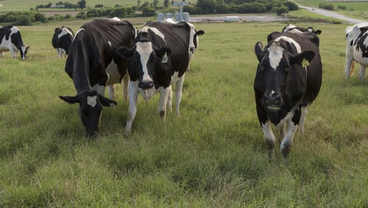 Holstein cows in a field